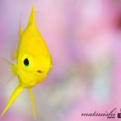コガネスズメダイ幼魚