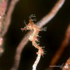タツノオトシゴ幼魚